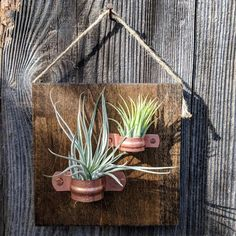 of Three Hanging Wood Plaques with Copper Holders and Six Air Plants Hanging air plant plaques with copper holders (Three plaques each containing two plants) Your custom order will include: Plant Wall, Plant Decor, Types Of Air Plants, Air Plants Care, Hanging Air Plants, Plant Crafts, Air Plant Display, Kraft Gift Boxes, Vertical Gardens