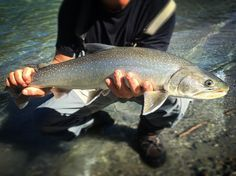 Nice Bull Trout caught and released on the #pittriver #theflyfishinglodge #comefishwithus