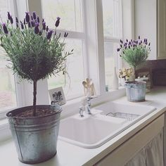 If your winters are too cold or if you just want its fragrance closer to home, growing lavender in pots is a great idea. http://gardenseason.com/how-to-grow-lavender/