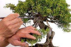 How To Train A Bonsai Tree – Learn the proper techniques for training a bonsai tree or other garden plant. Use this to learn how to maintain your other garden decorations!