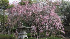 sakura flor de cerejeira;jardim japones