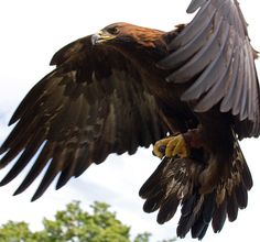 Golden Eagle - Germany's national animal.                                                                                                                                                      More