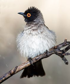 African Red-eyed Bulbul, Southern Africa
