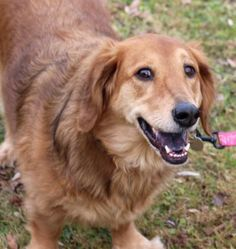 Basset golden retriever Basset Hound Mix, Golden Retriever Mix, Mixed Breed, Dog Breeds, Unique, Dogs, Animals, Animales, Animaux