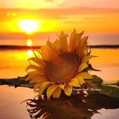Single sunflower bloom laying on the beach at sunset