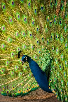 Peacock displaying - Flickr - Photo Sharing!
