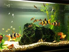 My clown loaches aren't they cool!