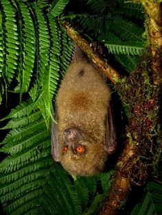Species New to Science: [Mammalogy • 2005] Mirimiri acrodonta | Fijian Monkey-faced Bat • Systematics of the Pacific monkey-faced bats (Chiroptera: Pteropodidae), with a new Fijian genus
