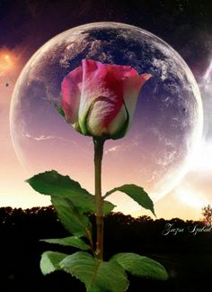 Egy szál rózsa a teliholdban 🌛🌠 Beautiful Rose Flowers, Beautiful Moon, Love Rose, Beautiful Moments, Love Flowers, Moon Images, Moon Pictures, Dandelion Wallpaper, Good Morning Images Hd