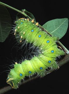 Even the caterpillar of the Imperial Moth is beautiful....Peridot green with Aquamarine blue dots