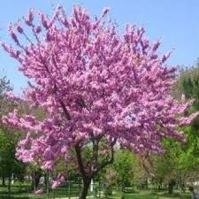 Cercis Canadensis ( Northern Redbud ) seeds Northern Redbud seeds for sale Judas Tree, Tree Id, Tree Images, Seeds For Sale, Enchanted Garden, Trees To Plant, Hydrangea, Exterior Design, Garden Design