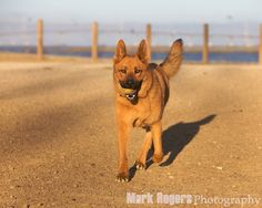 German Shepherd Chow Mix | The Mark Rogers Pet Photography Blog