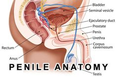 The #penis serves two main functions in the #body. This allows the body to cleanse itself and allows for the continuation of a species.  Read more in penis #anatomy today's post!  http://www.drelist.com/penile-anatomy-brief