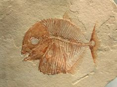 Bottom feeding Fossil Fish -- Gyronchus, Order Pycnodotiformes, Family Pycnodontidae.  Cenomanian Stage (93-97 m.y.a.),