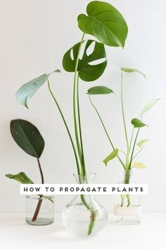 How to propagate plants. Click through for 3 easy steps to plant propagation. monstera Quick Guide to Propagating Plants in 3 Easy Steps - Paper and Stitch Potted Plants, Garden Plants, Indoor Plants, Hanging Plants, Easy House Plants, Hydroponic Plants, Garden Bulbs, Decoration Plante, Free Plants