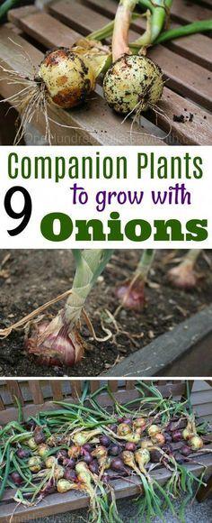 Growing Onions, Companion Planting, Companion Plants for Onions, Gardening, Gardening Hacks, Gardening 101, Onion Tips #vegetablesgardening #gardeninghacks
