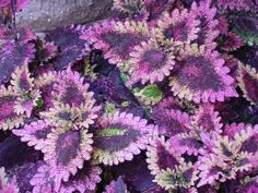 coleus--ruffles...would look good with the one I just pinned