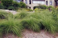 Prairie Dropseed (Sporobolus heterolepis) : Prairie Nursery : Native Plants