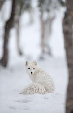 Polar/Arctic fox (by Pewald) Arctic Animals, Arctic Fox, Nature Animals, Animals And Pets, Baby Animals, Cute Animals, Strange Animals, Unusual Animals, Small Animals