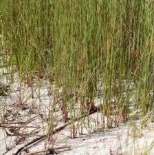 baumea juncea (bare twig rush) - Google Search Coastal, Google Search, Plants, Plant, Planets