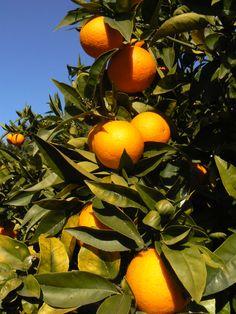 Sinaasappels uit eigen tuin hmmmm Orchards, Garden, Veggie Gardens, Garten, Fruit Tree Garden, Lawn And Garden, Outdoor, Tuin, Gardens