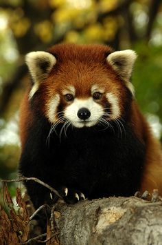 https://si0.twimg.com/profile_images/783216638/_JLM_red_panda_fall_PPZ_1624_low.jpg