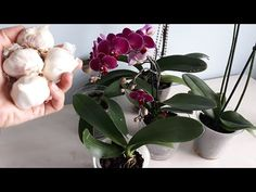 Açmayan Orkide Kalmasın,Orkide İçin Müthiş Etkili Uygulama,Sarımsak ile Orkide Coşturan,ORCHİDEE - YouTube Blooming Orchid, Beading Tutorials, Garlic, Branches, Gardens, Flower Arrangements, Succulents, Tejidos, Green Garden