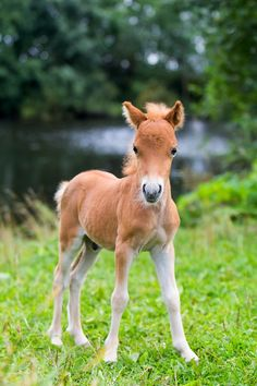 (photo: DragoNika/Shutterstock) -A Falabella miniature horse foal. (photo: DragoNika/Shutterstock) - Fantastische Ein sehr süßes Fohlen 12 photos that reveal the irresistible cuteness of miniature horses Cute Baby Horses, Tiny Horses, Baby Animals Super Cute, Pretty Horses, Horse Love, Show Horses, Beautiful Horses, Animals Beautiful, Cute Animals