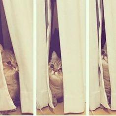 忘れた頃にやってくるルナちゃん♀ 相変わらず短足猫です😋😋 なっきぃ家のルナちゃんもうすぐ1歳だね😘 #c_ute #中島早貴 #なっきぃ  #るなっきぃ #ルナ #luna #短足猫  #ハロプロメンバー猫 #ハロメン猫  #ねこ #愛猫  #久しぶりにルナちゃん登場 #なっきぃルナちゃんの写真ありがとう  #ルナちゃんの誕生日4月上旬説 #cat #kitten