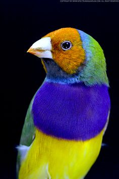 I will be getting a Yellow Head (also called Orange Head) Gouldian in the next few weeks.