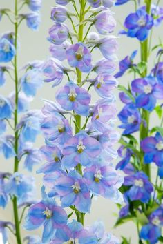 Gardening Organic 10 expert tips on growing tall and beautiful delphiniums - We asked an RHS gardener to share his top care tips. Tall Flowers, Colorful Flowers, Beautiful Flowers, Blue Flowers, Lotus Flowers, Beautiful Beautiful, Beautiful Homes, Shade Garden, Garden Plants