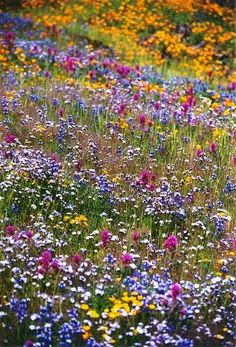 California Wildflowers - owls clover, lupin, goldfields, popcorn flower, poppies and more!