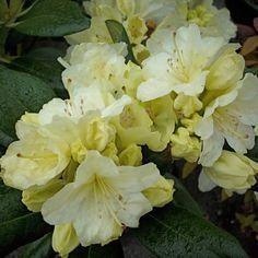 Plant | Rhododendron, Largeleaf, Capistrano