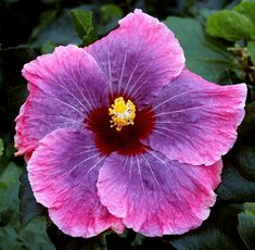 Exotic Hibiscus 'Christie Blue'