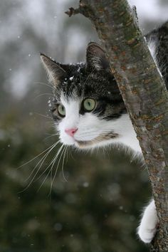 American Bobtail enjoys to play, so He is a good option for families with children. Always supervise younger kids to be certain they don't hurt the cat by simply yanking his fur or twisting his tail.