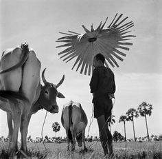 Photo by © Werner Bischof. CAMBODIA. Farmer shading himself as he looks after his grazing cows. 1952.