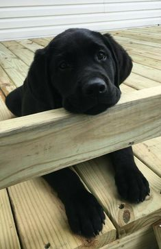 Mind Blowing Facts About Labrador Retrievers And Ideas. Amazing Facts About Labrador Retrievers And Ideas. Black Lab Puppies, Cute Puppies, Cute Dogs, Dogs And Puppies, Labrador Puppies, Doggies, Corgi Puppies, Big Dogs, Labrador Retrievers