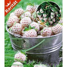 Weiße Ananas-Erdbeere 'Natural White', 4 Pflanzen - BALDUR-Garten GmbH
