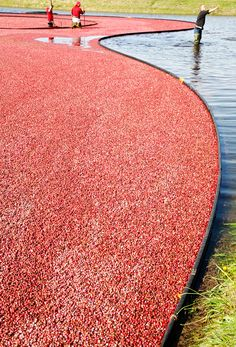 Cranberry harvest in New England.