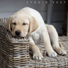 Sleepy Yellow Lab puppy resting his head on a basket