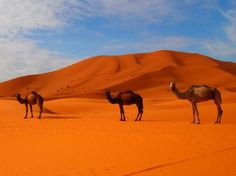 #MoroccoCamelTrekking takes you straight into the Moroccan Sahara region where you will find the best travel experience that takes you off the beaten track. Know more @ http://camelsafaries.weebly.com/blog/how-morocco-camel-trekking-offer-the-trip-of-lifetime-for-a-real-flare