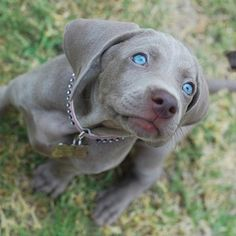 beautiful eyes and gray coat. Their eyes are only blue as puppies then they change to amber.