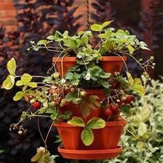 Strawberry and Herb Planter, Growing Strawberries in Containers Herb Planters, Hanging Planters, Hanging Baskets, Plant Pots, Potted Strawberry Plants, Strawberry Planters, Growing Strawberries In Containers, Growing Tomatoes In Containers, Grow Strawberries
