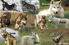 To find out more about these beautiful Wolves just check out the UK Wolf Conservation Trust. It's a site well worth a visit.