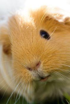 The Guinea Pig Daily: Wuschel