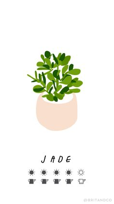 Read this beginner's guide to trendy indoor plants to learn all the tips and tricks — including how much sun + water — your jade plant needs to keep them alive and your space green.
