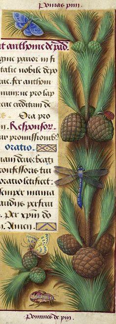 Pommes de pin - Pomas pin (Pinus pine L. = Pin pignon) -- Grandes Heures d'Anne de Bretagne, BNF, Ms Latin 9474, 1503-1508, f°188r