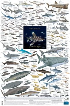 Korck Natural History wall posters illustrate about 4000 different species of birds, mammals, fishes, sharks, snakes and frogs in highly detailed artwork Save The Sharks, Types Of Sharks, Shark Art, Animal Posters, Marine Biology, Ocean Creatures, Sea Fish, Shark Week, Underwater World