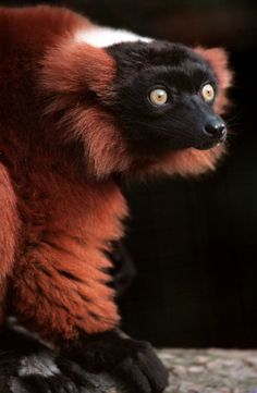 Red ruffed lemur. #animals #endangered