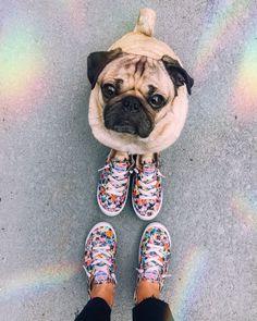 English Bulldog Puppies, Baby Puppies, Corgi Puppies, Terrier Puppies, English Bulldogs, French Bulldogs, Boston Terrier, Cute Pugs, Cute Funny Animals
